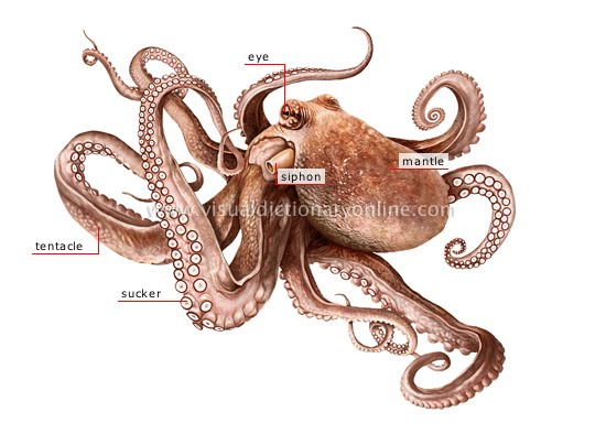 Octopus+External+Anatomy Octopus Body Parts - Houses Plans - Designs